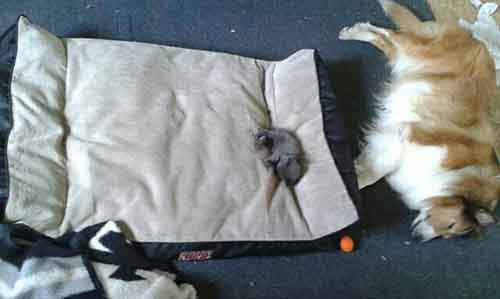 cats-stealing-dog-beds-48-57e1230a23a5e__700