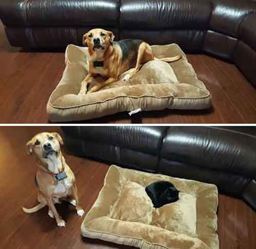 cats-stealing-dog-beds-7-57e0fda794375__700