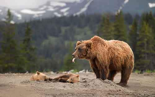 mother-bear-cubs-animal-parenting-11-57e3a1f7d9acb__880