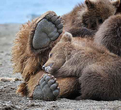 mother-bear-cubs-animal-parenting-16-57e3a206e104f__880