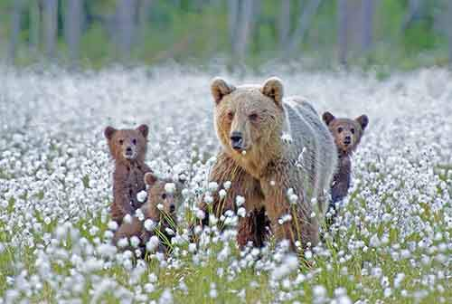mother-bear-cubs-animal-parenting-19-57e3a2102c937__880