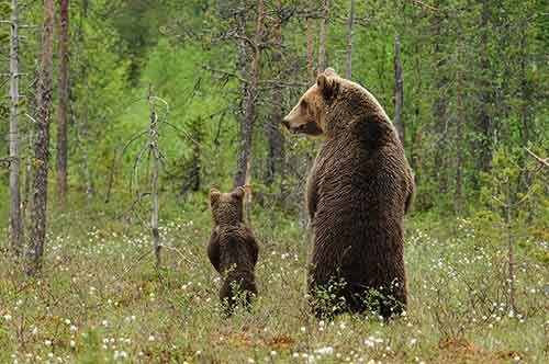 mother-bear-cubs-animal-parenting-2-57e3a1e41ab75__880