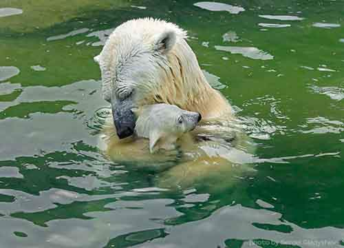 mother-bear-cubs-animal-parenting-20-57e3a212ac70f__880