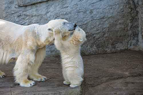 mother-bear-cubs-animal-parenting-28-57e3a8b67ee80__880