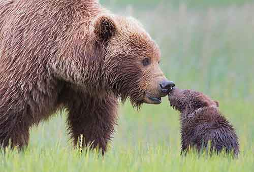 mother-bear-cubs-animal-parenting-36-57e3c3d86ad35__880