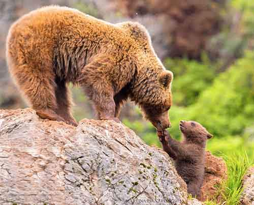 mother-bear-cubs-animal-parenting-39-57e3c4da1c7b8__880