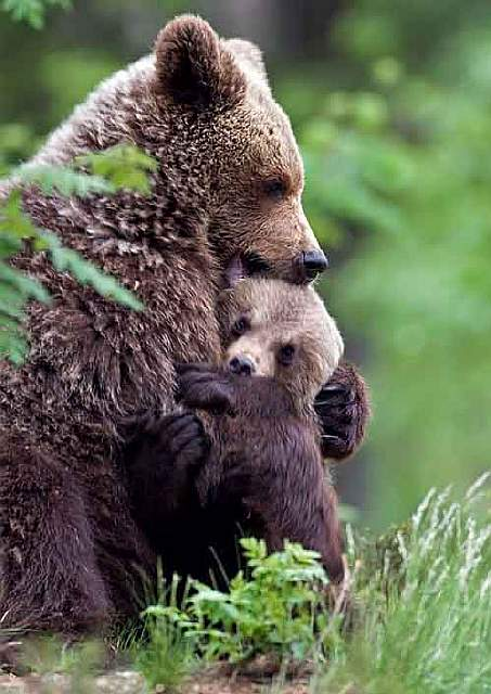 mother-bear-cubs-animal-parenting-41-57e3c64f101c9__880