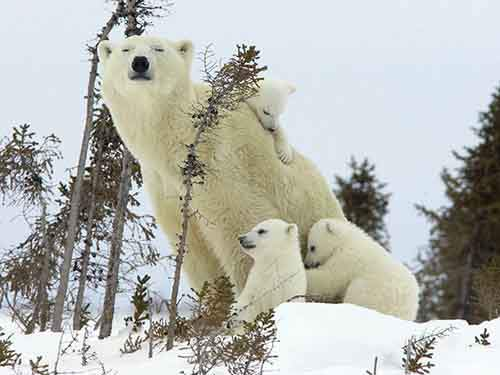 mother-bear-cubs-animal-parenting-42-57e3c69722879__880