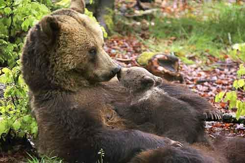 mother-bear-cubs-animal-parenting-47-57e3ca6813309__880