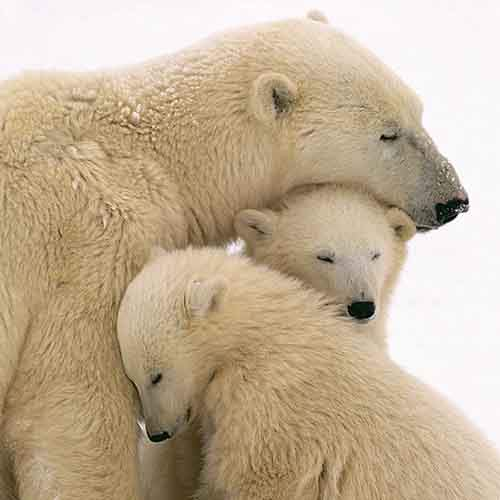 mother-bear-cubs-animal-parenting-49-57e3cc1a14fb7__880