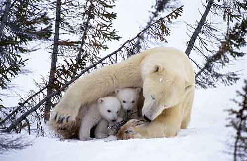 mother-bear-cubs-animal-parenting-50-57e3cdc40cced__880