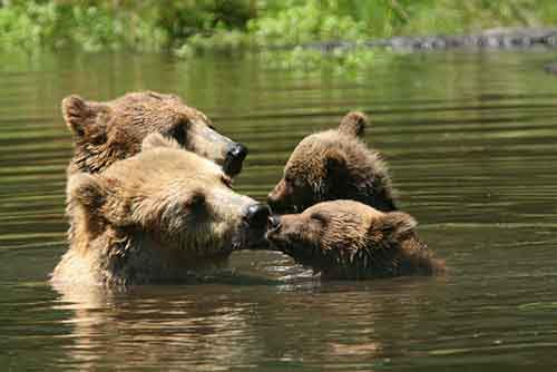 mother-bear-cubs-animal-parenting-51-57e3cfb6cd03c__880