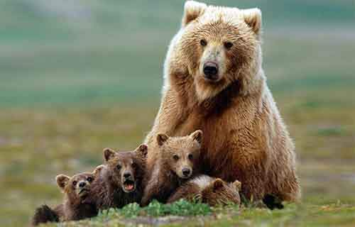 mother-bear-cubs-animal-parenting-52-57e3ceac97b06__880