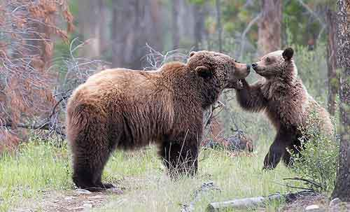 mother-bear-cubs-animal-parenting-52-57e3d005be856__880