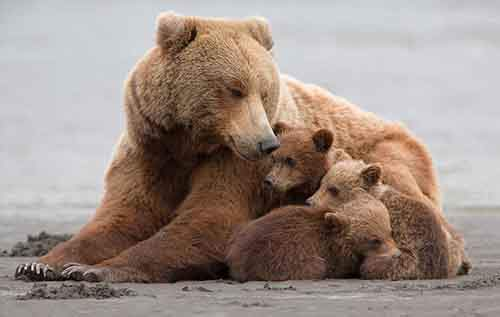 mother-bear-cubs-animal-parenting-53-57e3d068872b0__880