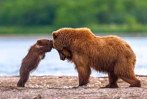 mother-bear-cubs-animal-parenting-55-57e3d1c889914__880