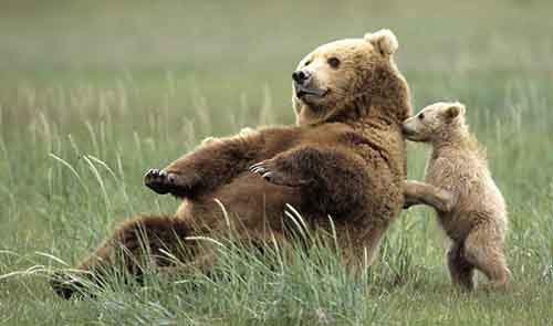 mother-bear-cubs-animal-parenting-59-57e3d3198834d__880