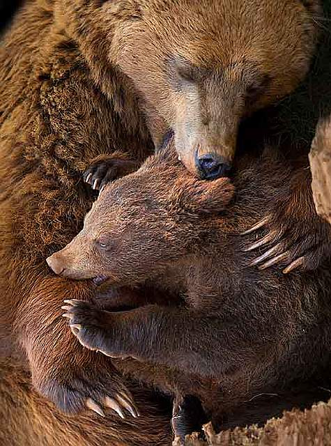mother-bear-cubs-animal-parenting-6-57e3a1ed3723e__880