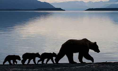 mother-bear-cubs-animal-parenting-60-57e3d410ed06f__880