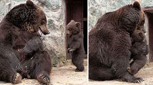mother-bear-cubs-animal-parenting-61-57e3d0f7d3497__880