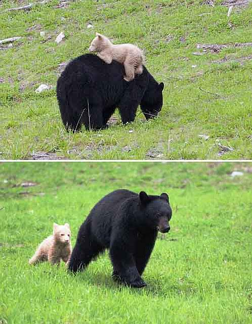 mother-bear-cubs-animal-parenting-62-57e3d263b8a96__880