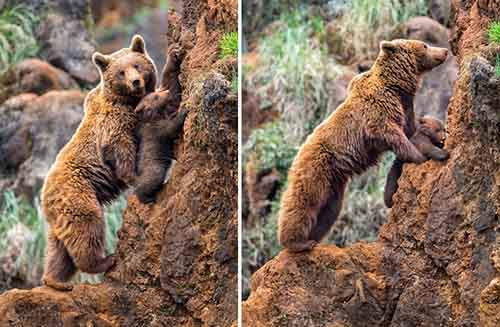 mother-bear-cubs-animal-parenting-63-57e3d0520db25__880