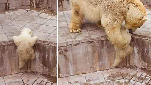 mother-bear-cubs-animal-parenting-7-57e3a1ef94b78__880