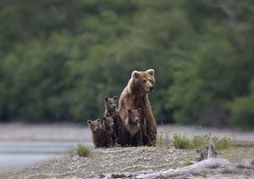 mother-bear-cubs-animal-parenting-8-57e3a1f1e30aa__880