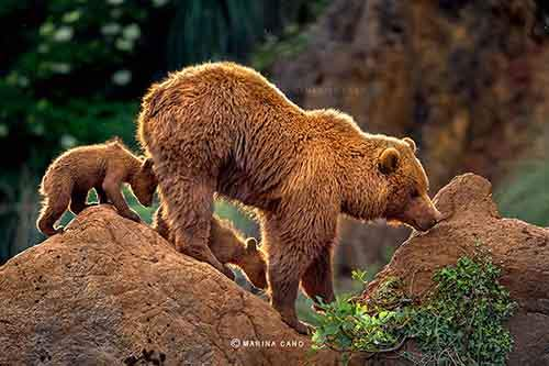 mother-bear-cubs-animal-parenting-9-57e3a1f3e385b__880