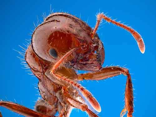 red-fire-ant