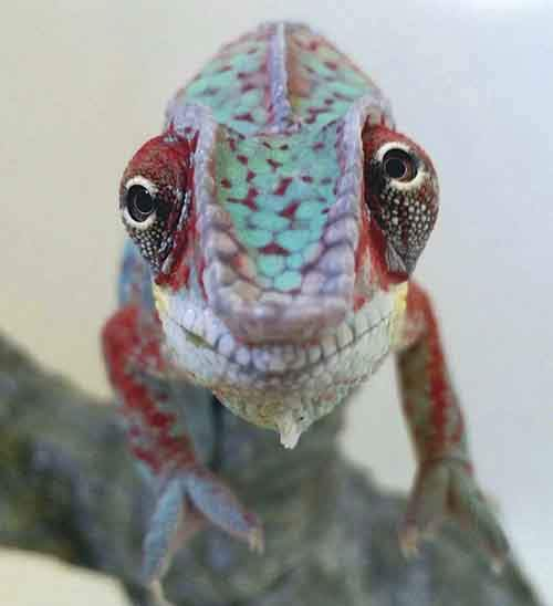 cute-baby-chameleons-58358ac18be9d__700