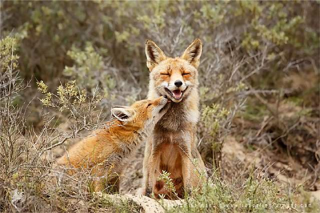 foxy-love-photographer-proves-that-foxes-are-extremely-loving-creatures-11-pics-5__880