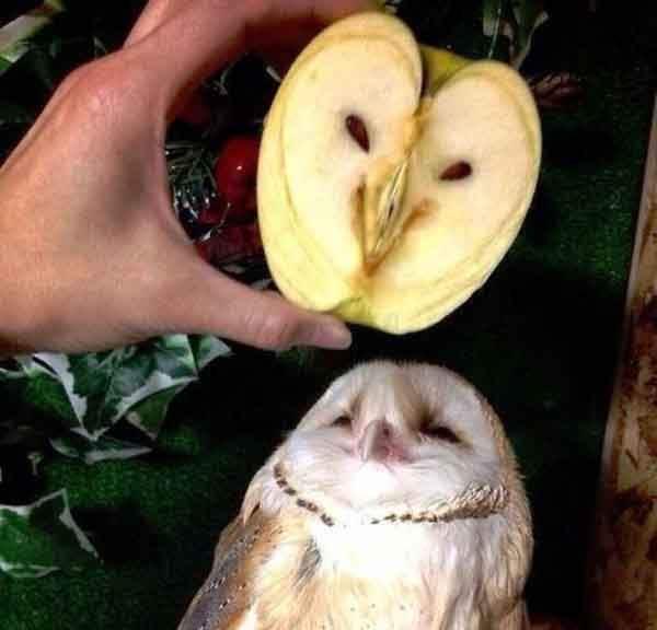 www.thepoke.co_.uk-cute-animal-pictures-owl-looks-like-apple