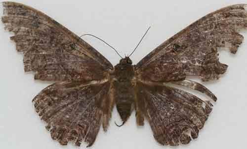 Ascalapha-odorata-610x370