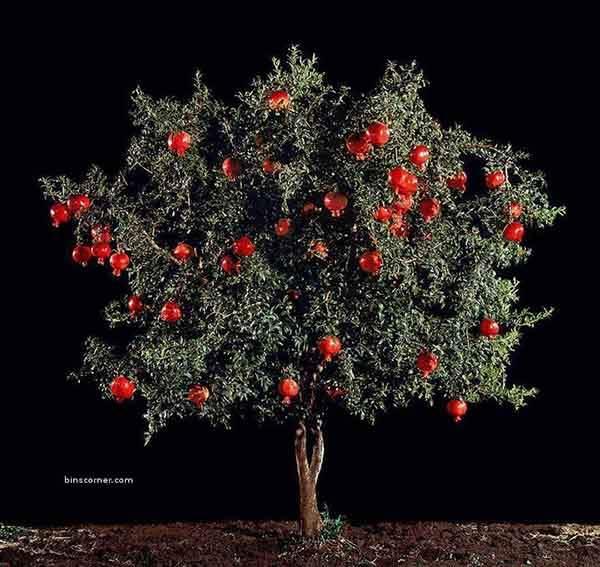 Pomegranate-2
