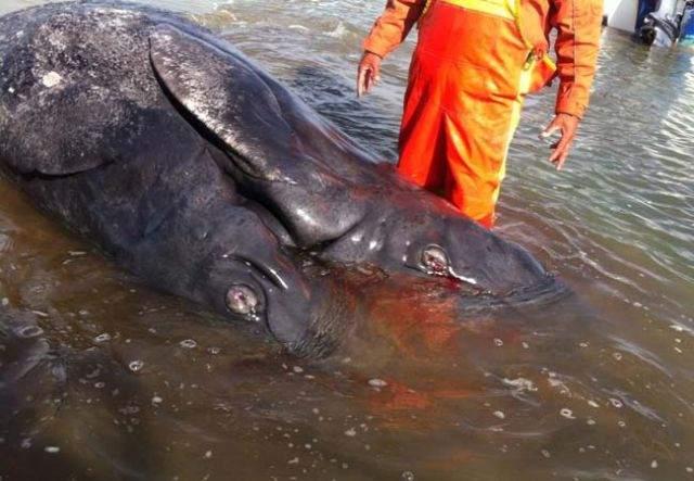 Two-headedwhale2