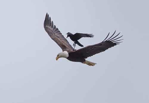 crow-rides-eagle-bird-photography-phoo-chan-5