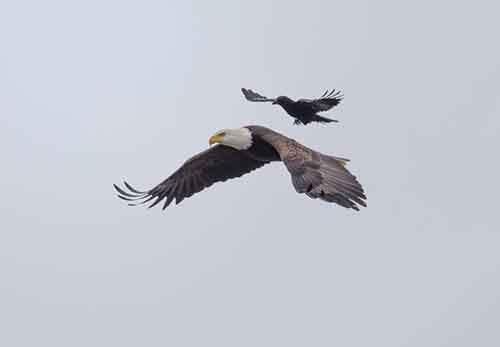 crow-rides-eagle-bird-photography-phoo-chan-6