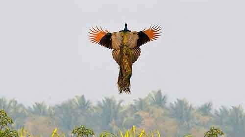 flying-peacock-4