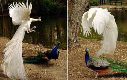 flying-peacock-5