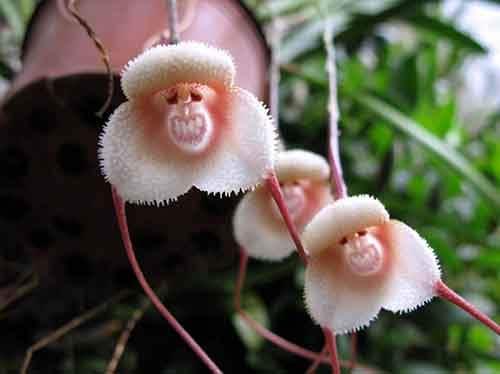Monkey Face Orchid (Dracula Simia)