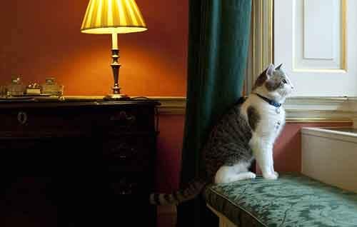 Larry the Cat gazes through the window f