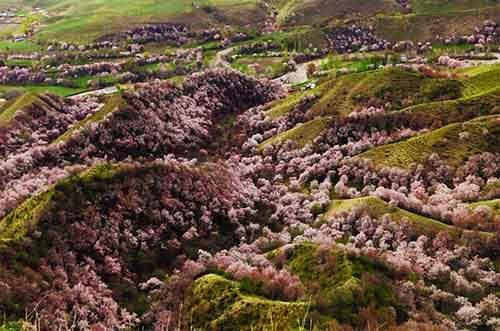 blooming-apricot-valley-yili-china-21