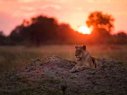 botswana-lioness-scene_94986_990x742