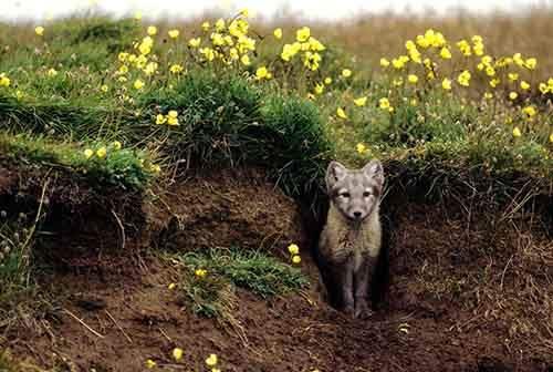 01-arctic-fox-den.adapt.1190.1